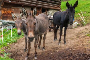 A herd of donkeys in the graubunden Alps, in Switzerland