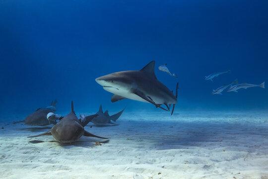 Bull shark in caribbean sea