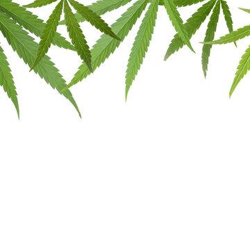 Green leaves of hemp plant on white background