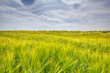Fototapete - Scenic view of Wheat Field and bright blue sky with cumulus and cirrus. Rural summer Landscape. Beauty nature, Agriculture and seasonal Harvest time. Cultivation cereals. Agribusiness.