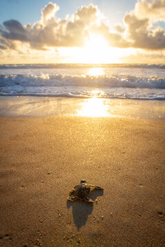 Baby sea turtle making its way down to the water for the first time on the beach in Florida