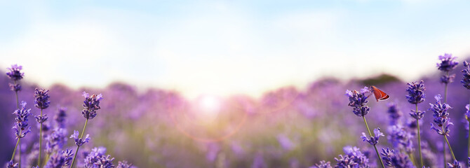 Beautiful sunlit lavender field, closeup. Banner design