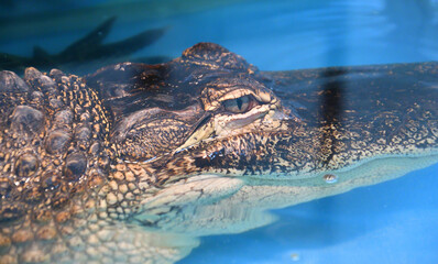 Nile crocodile (Lat. Crocodylus niloticusis)