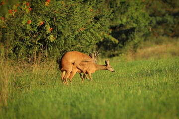 European roe deer, Capreolus capreolus, in rut season. Roe buck and doe in nature mating. Wild animals in forest. Wildlife from summer nature.