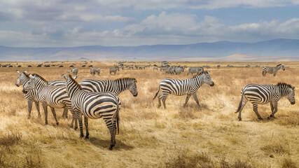 Photo sur Plexiglas Zebra herd of zebras in Tarangire National Park in Tanzania