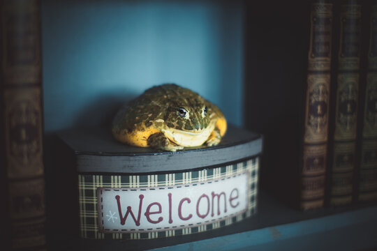 The wise African bullfrog in library on box