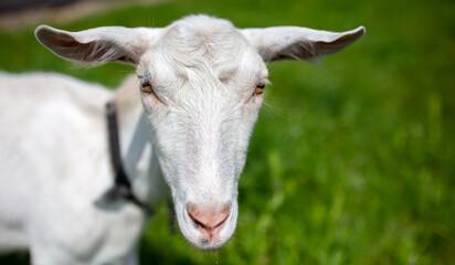 White goat grazes on the green grass