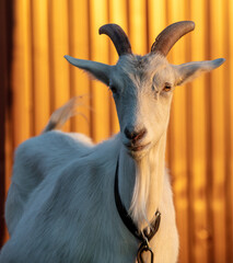 A white goat grazes in the sunset