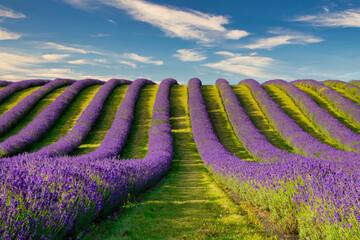 Lavender Fields on the banks of loch leven, kinross, kinross-shire, scotland.