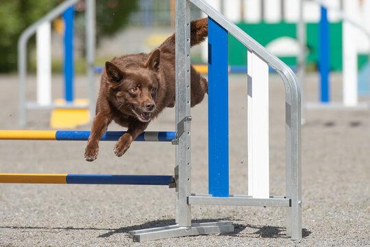 Australian Kelpie jumps over an agility hurdle