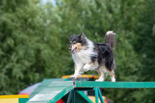 Rough Collie is running on the boom on dog agility course