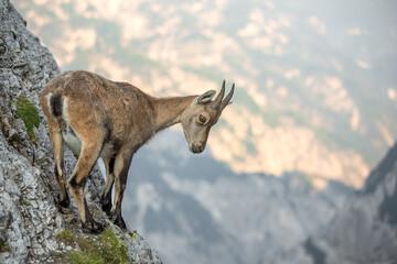 Photo sur Plexiglas Antilope Young Alpine ibex (Capra ibex) perched on rock