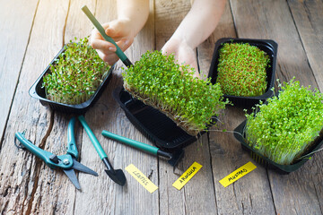 Microgreen sprouts growing. Girl puts micro green in a tray.
