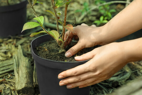 Woman taking care of little tree, closeup. Planting and gardening