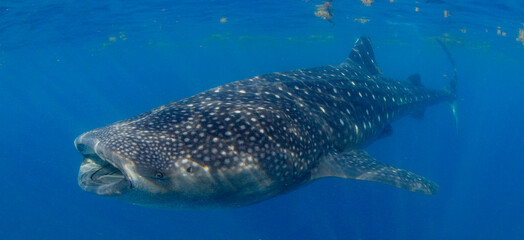 Fototapete - Whale shark swimming in the warm blue waters off of Cancun