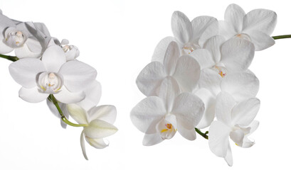 white orchid Phalenopsis isolated on white