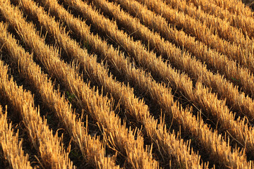 Stubble in a harvested wheat field