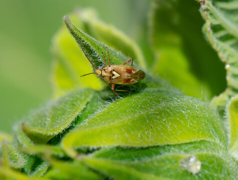 Mirid Bug (lygus pratensis) on a sunflower bud