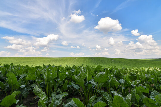 Endless green field of sweet sugar beet growing with blue sky background