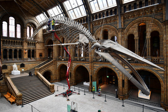 The conservation team at the Natural History Museum clean Hope, a blue whale skeleton, in London