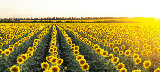 Beautiful panoramic view of a field of sunflowers in the light of the setting sun..Yellow sunflower close up. Beautiful summer landscape with sunset and flowering meadow Rich harvest Concept.