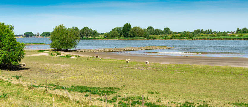 Panorama view. Meadow with sheep along river Lek. Between Langerak and Schoonhoven. The Netherlands