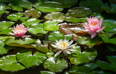 Two amazing bright pink water lilies or lotus flowers Marliacea Rosea and one white nymphaea in old pond. Nympheas above leaves are so beautiful. Summer flower landscape, fresh wallpaper