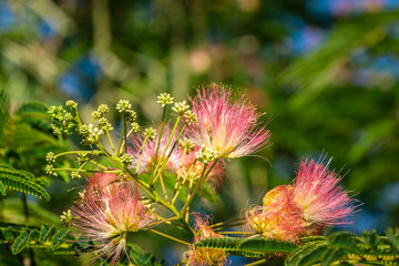 Delicate green leaves of Persian silk tree (Albizia julibrissin) on blurred greenery. Japanese acacia or pink silk tree the family Fabaceae.