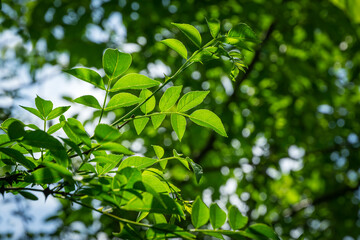 Green leaves of Zanthoxylum americanum or prickly ash. Sichuan pepper in summer garden on blurred green. Background for fresh wallpaper, nature background concept