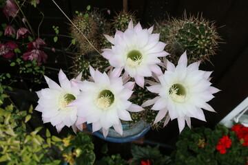 Kaktusblüten - blühender Kaktus
