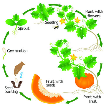 A growth cycle of a pumpkin plant on a white background.