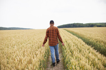 A man walks through a wheat field and examines it. Agriculture
