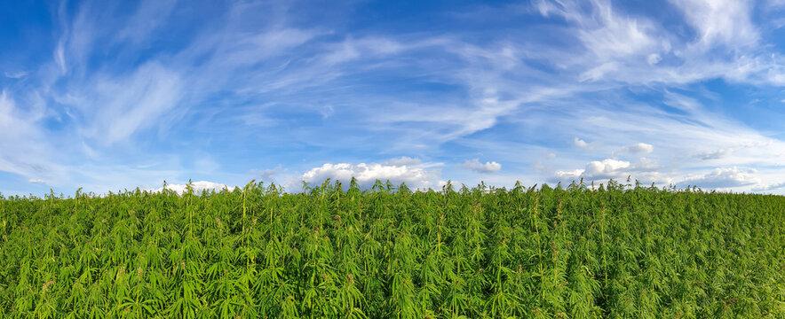 canabis on marijuana field farm sativa weed hemp hash plantation panorama