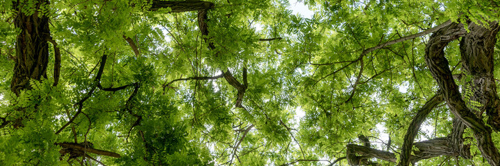 Panoramic image. Leaves of the Robinia pseudoacacia in the park. Looking Up