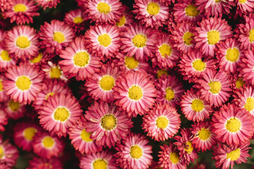 The autumn Flowers, chrysanthemum flowers wallpaper background.