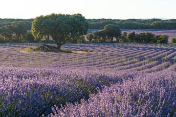 Lavender Fields of Brihuega (Spain)