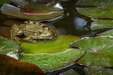 Frog Rana ridibunda (pelophylax ridibundus) sits in pond on the wet water lily leaves and looks at camera. Closeup  natural habitat and nature concept for design