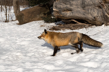 Red Fox (Vulpes vulpes) Quickly Steps Left Through Snow Winter