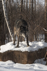 Black Phase Grey Wolf (Canis lupus) Looks Down Off Rock Winter