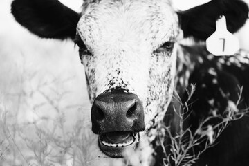 Wall Mural - Spotted longhorn calf close up portrait in black and white, sleepy head.