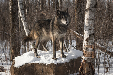 Black Phase Grey Wolf (Canis lupus) Looks Quizzical From Rock Winter