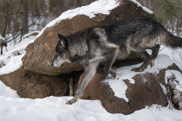 Black Phase Grey Wolf (Canis lupus) Steps Left Off Rock Winter