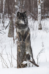 Black Phase Grey Wolf (Canis lupus) Stands With Paws Up on Stump Winter