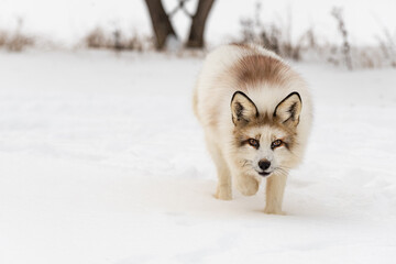 Red Marble Fox (Vulpes vulpes) Prowls Forward Winter