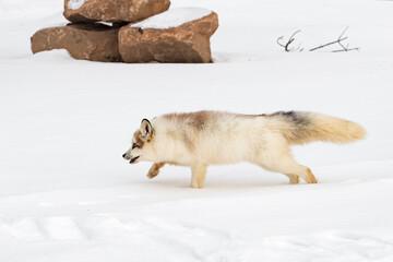 Red Marble Fox (Vulpes vulpes) Runs Left Through Snow Winter