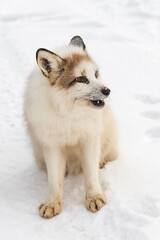 Red Marble Fox (Vulpes vulpes) Sits Looking Right Winter