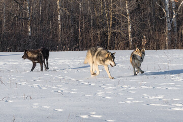 Pack of Grey Wolves (Canis lupus) Move Through Field Winter