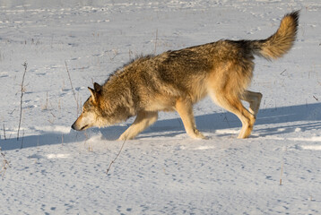 Grey Wolf (Canis lupus) Steps Left Nose Down Tail Up Winter