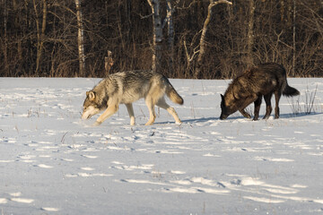 Grey Wolf and Black Phase (Canis lupus) Walk Sniffing Across Field Winter
