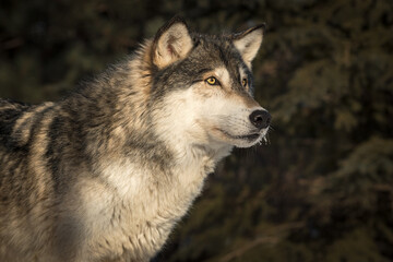 Grey Wolf (Canis lupus) Dark Background Looks Right